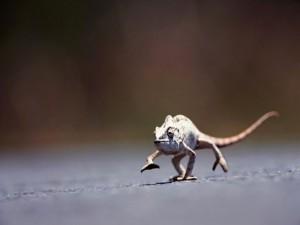 Un camaleón en movimiento
