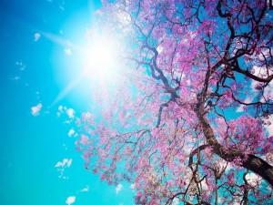 Postal: La belleza de un cerezo en flor