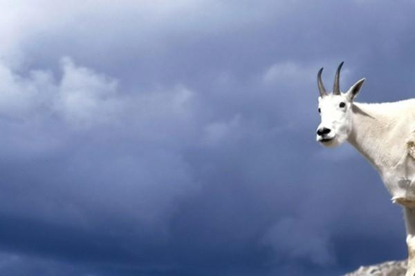 Cabra blanca o Cabra de las Rocosas (Oreamnos americanus)