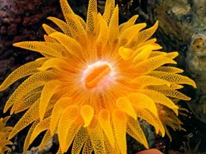 """Cup coral"" o ""Coral copa"" (Balanophyllia), un género de coral"
