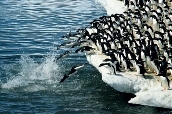 Pingüinos adelaida en la Antártida