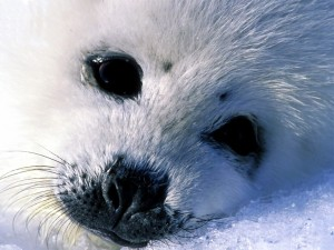 Postal: Cría de foca blanca