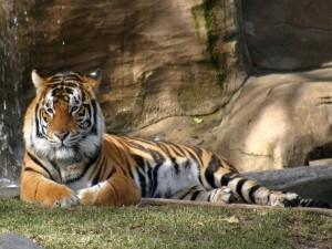 Tigre en un zoo