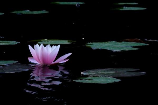 Flor de loto o loto sagrado