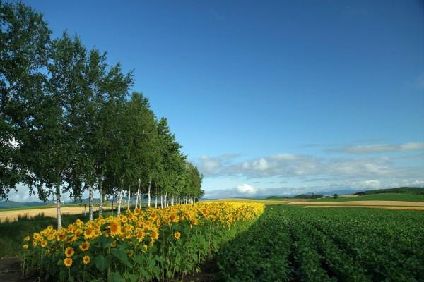 Plantación de girasoles