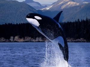 Postal: Espectacular salto de una orca