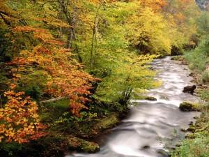 Hayas a la ribera del río Saliencia, Parque natural de Somiedo (Asturias, España)