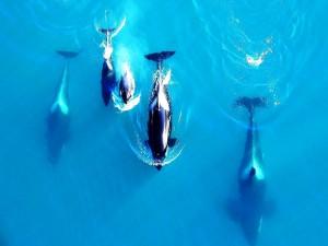 Manada de orcas vista desde arriba
