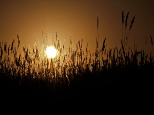 Postal: Espigas con el sol a contraluz
