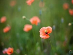 Postal: Amapolas en flor