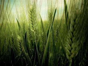 Postal: Cosecha de trigo verde