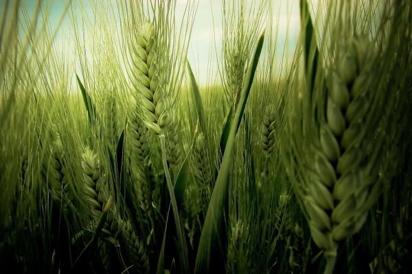 Cosecha de trigo verde