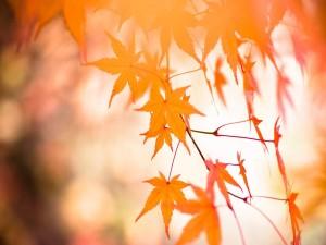 Postal: Hojas doradas de arce japonés palmeado