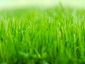 Postal: Césped verde visto a ras de suelo