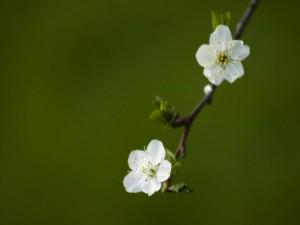 Postal: Delicadas florecillas blancas