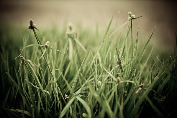 Hierba vista a ras de suelo