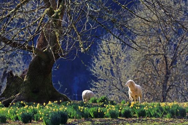 Un par de corderos entre flores