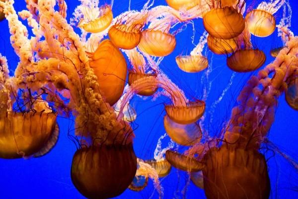 Banco de medusas doradas