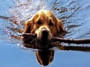 Perro en el agua llevando un palo
