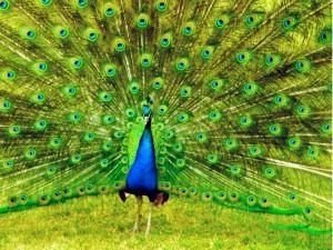 Pavo real exhibiendo su plumaje