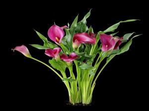 """Postal: Zantedeschia aethiopica (comúnmente llamada """"cala"""")"""