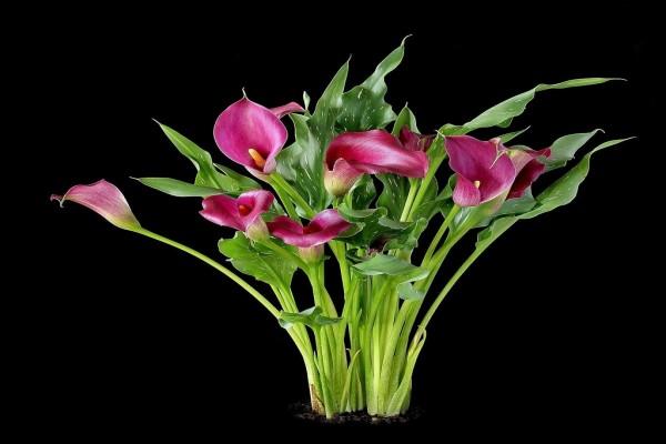 """Zantedeschia aethiopica (comúnmente llamada """"cala"""")"""