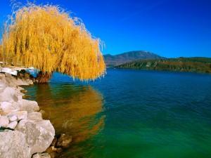 Sauce en otoño a orillas de un río