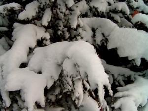 Postal: Nieve en las ramas de un pino