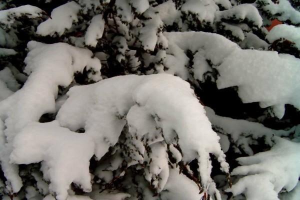 Nieve en las ramas de un pino