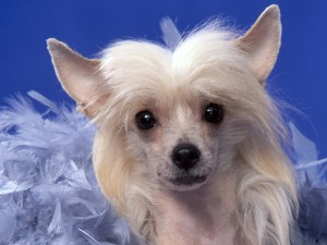 Crestado Chino (raza de perro)