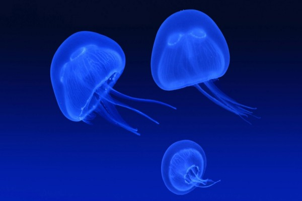 Medusas de color azul fluorescente