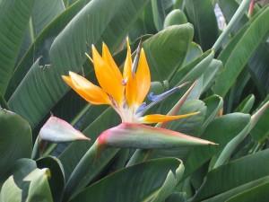 Ave del paraíso (Strelitzia reginae)