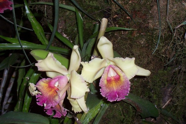 Orquídeas blancas y rosas (Orchidaceae)