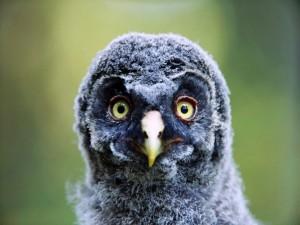 Postal: Polluelo de búho con grandes ojos