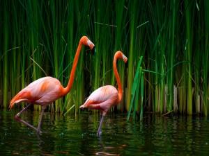 Flamencos caminando en el agua