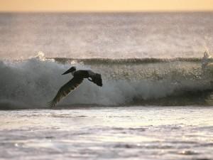 Postal: Pelícano pardo volando sobre el mar