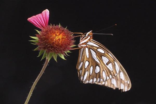 Una mariposa dorada, con manchas blancas, sobre una flor