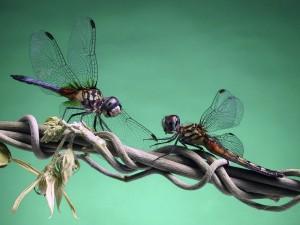 Dos libélulas sobre una rama