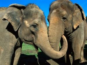 Postal: Pareja de elefantes asiáticos
