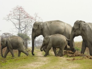 Elefantes asiáticos en libertad