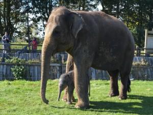 Postal: Familia de elefantes asiáticos en un zoológico
