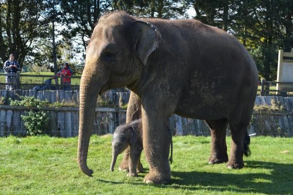 Familia de elefantes asiáticos en un zoológico