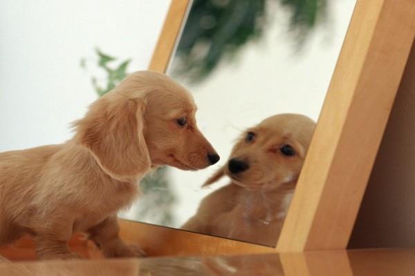 Cachorro Dachshund mirándose al espejo