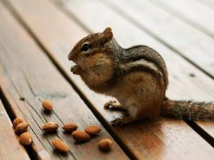 Postal: Ardilla comiendo almendras