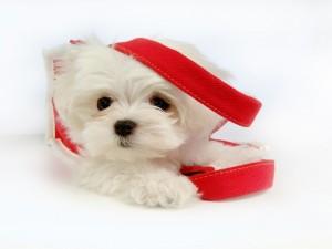 Postal: Perrito maltés blanco
