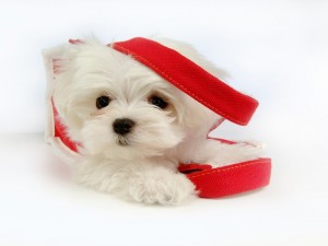 Perrito maltés blanco