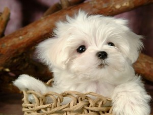 Postal: Cachorro maltés en una cesta