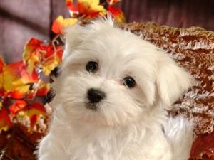 Postal: Cachorrito blanco