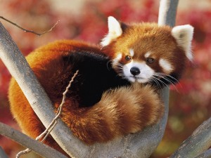 Panda rojo subido a una rama