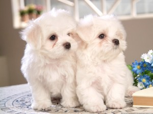 Dos perritos blancos de raza maltés